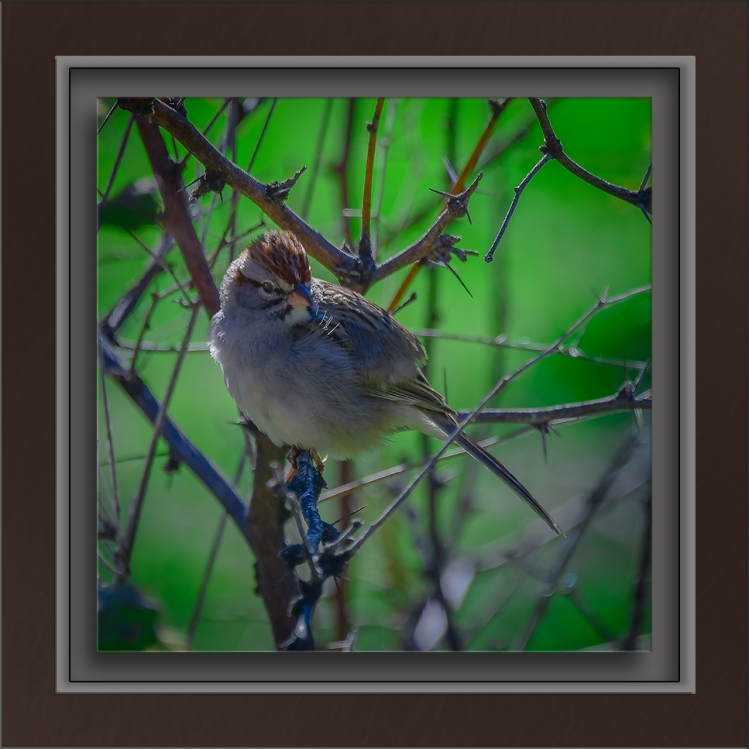 Rufous-winged Sparrow-4-72