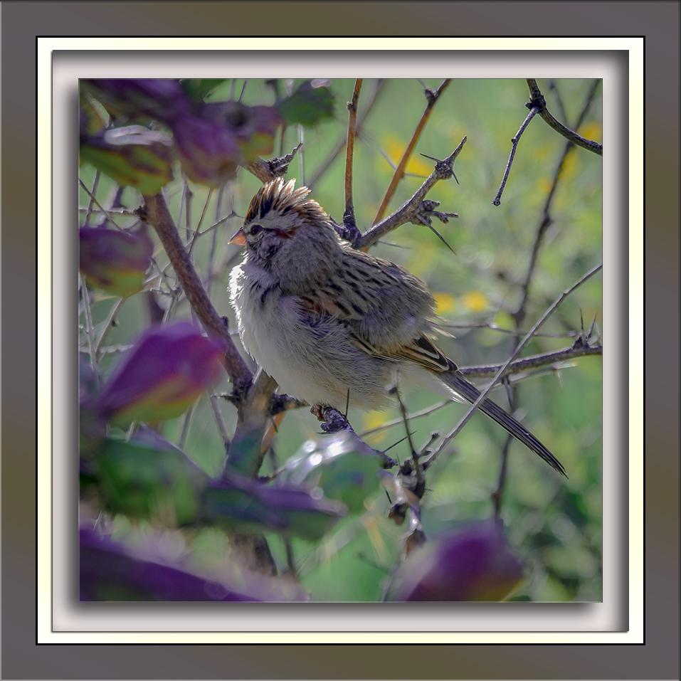 Rufous-winged Sparrow-72