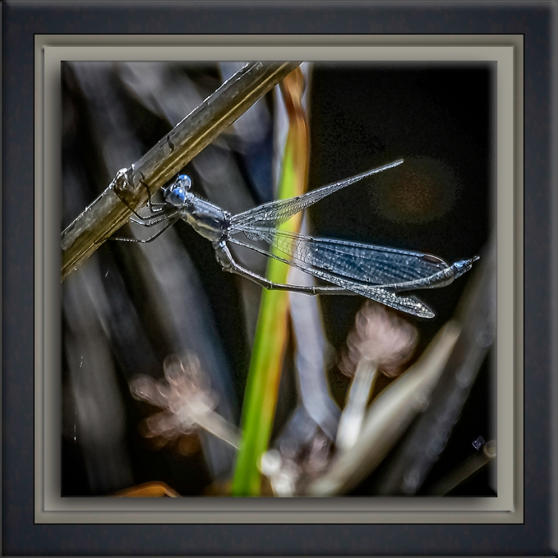 Spreadwing Damselfly-3-72