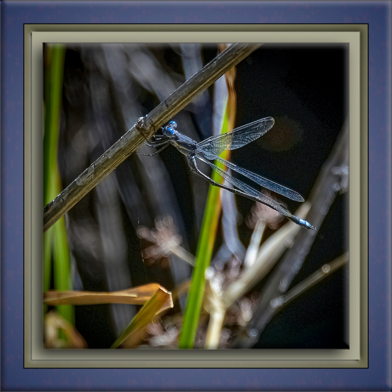 Spreadwing Damselfly-72