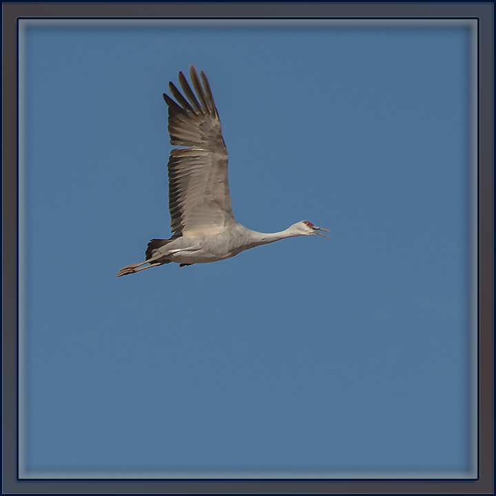 Whitewater Draw January 2014-9552-Sandhill Crane-72