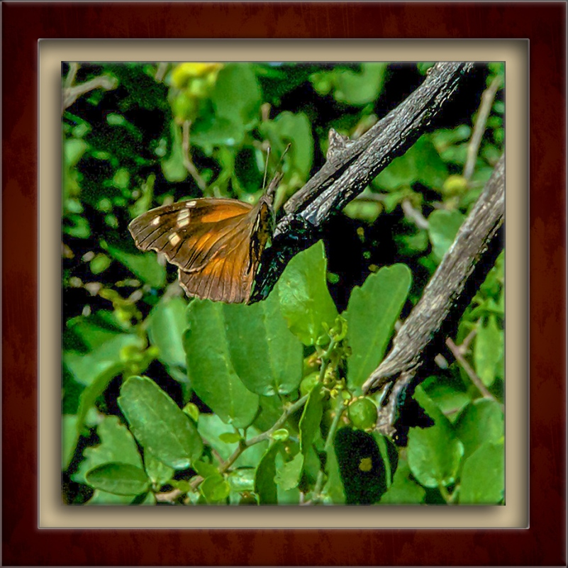 American Snout Butterfly-72