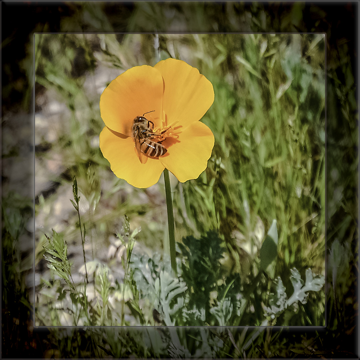 Bee On Poppy-DSC_4419-72