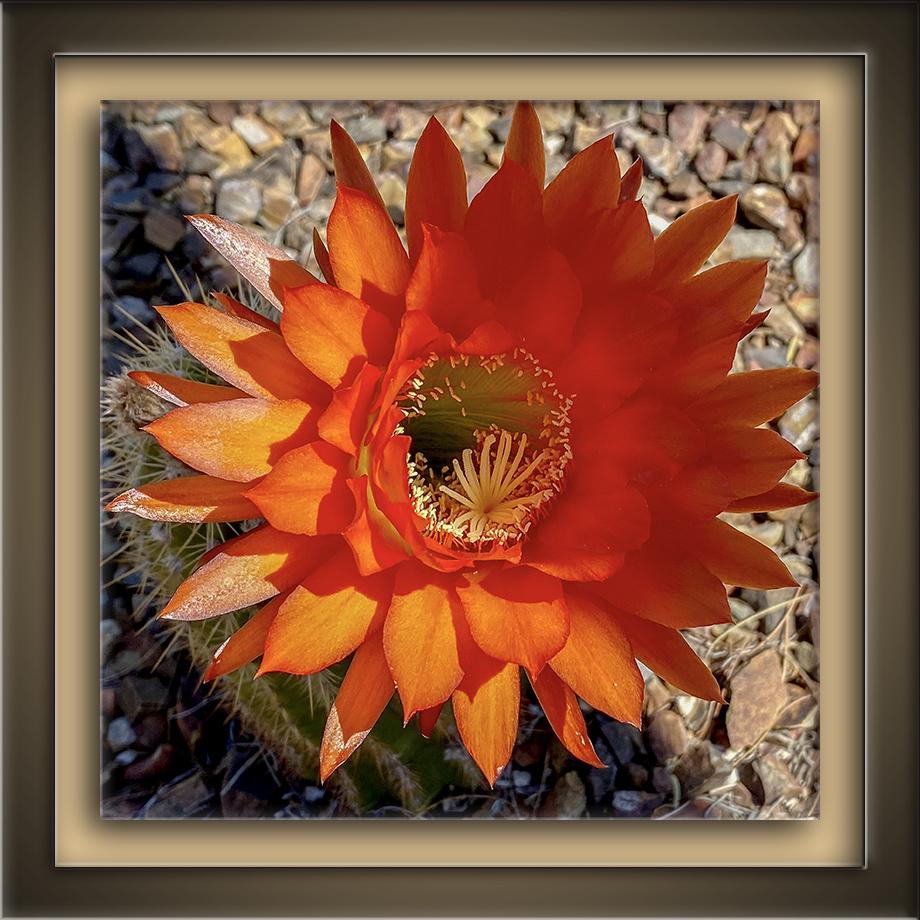 Cactus Blossom-2-72