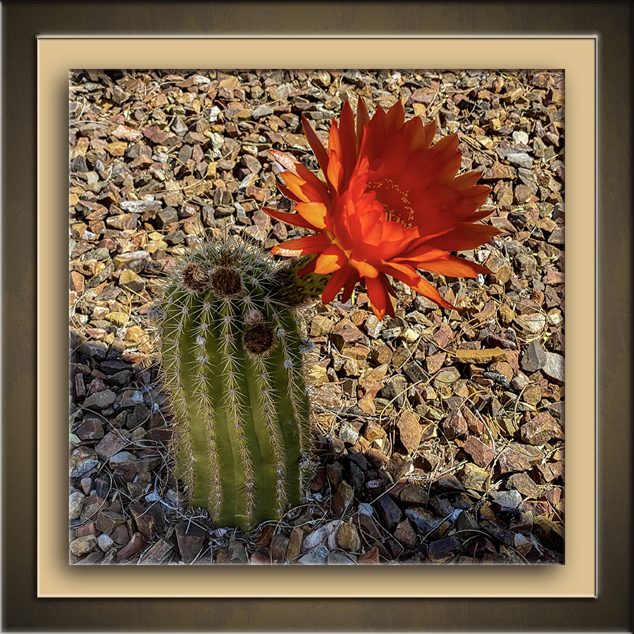 Cactus Blossom-72