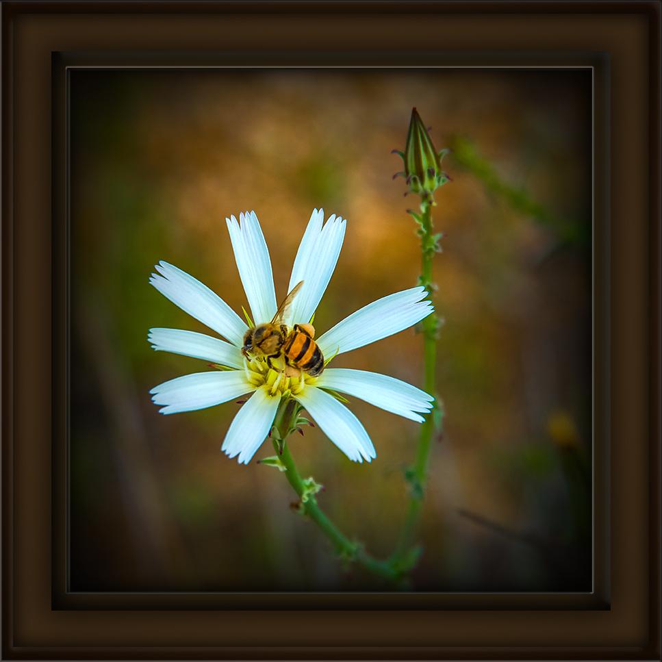 Desert Chicory-6391 art-72