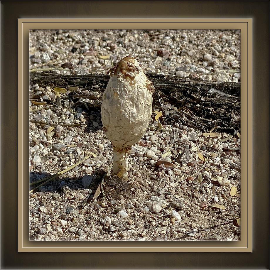 Desert Mushroom (Podaxis pistillaris)-72