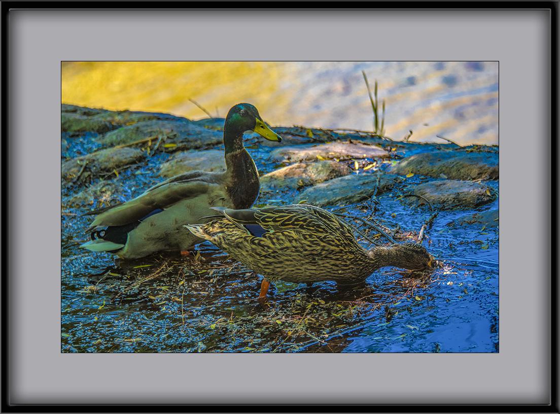 ducks-1253-72