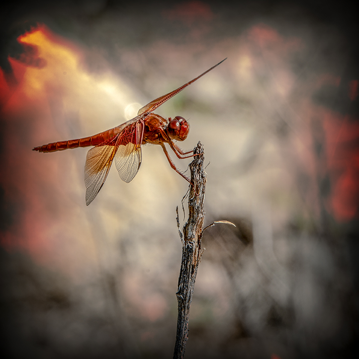 Flame Skimmer-art-72