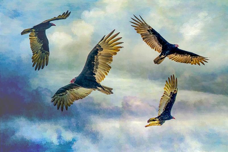 Turkey Vultures (1 of 1)-72