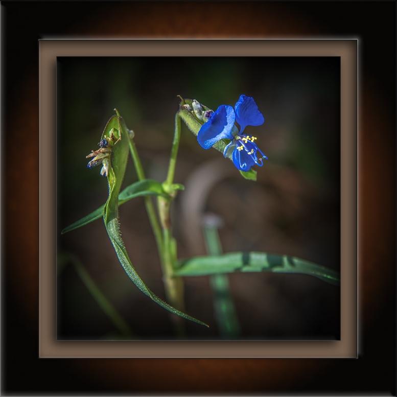 Birdbill Dayflower-72