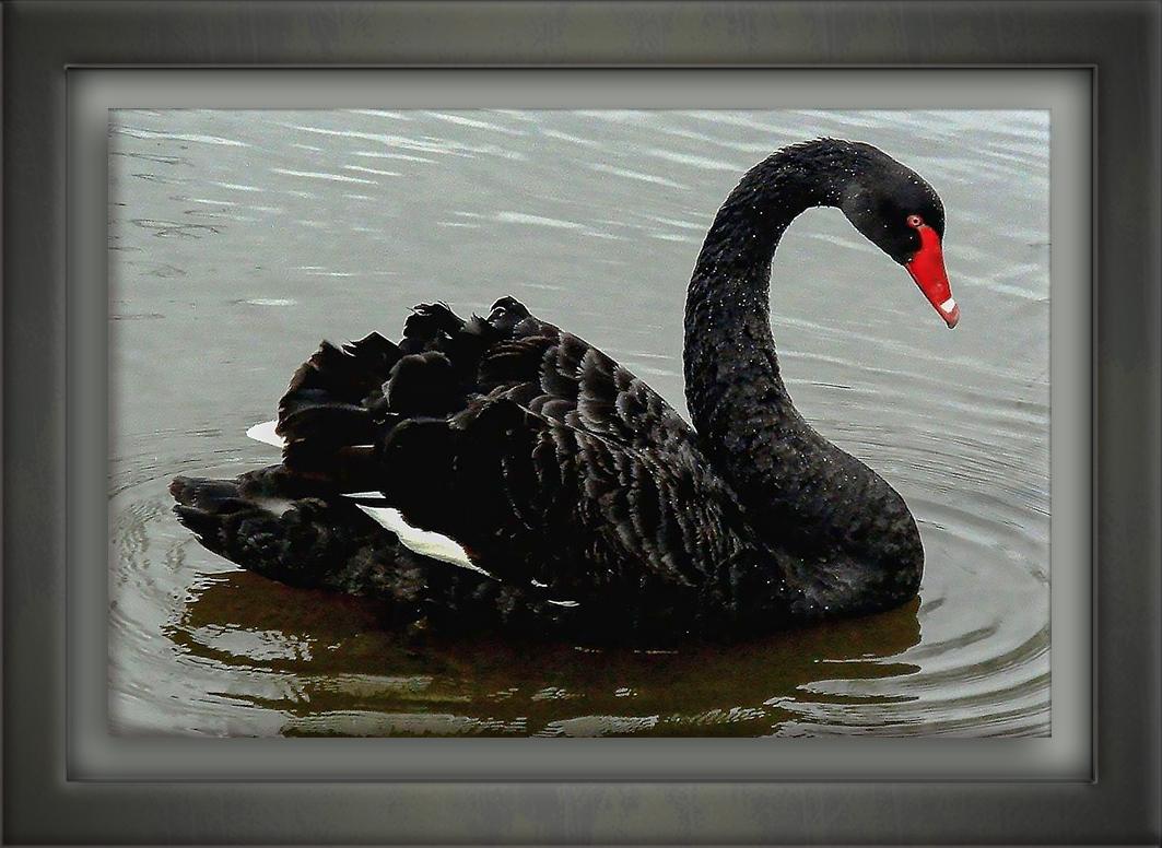 Black Swan-72