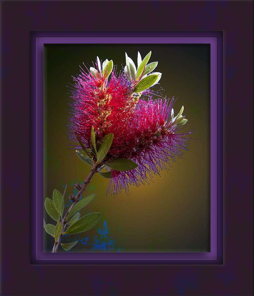 Bottlebrush Bloom-72