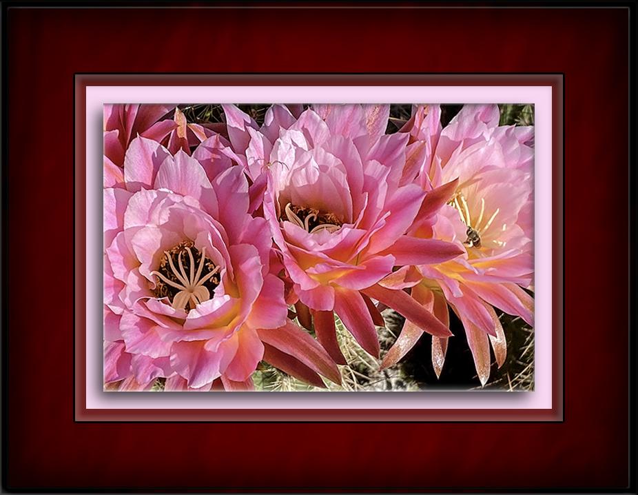 Cactus Blossoms-72-2