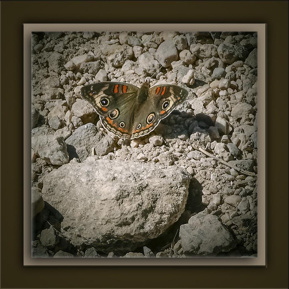 Common Buckeye-72