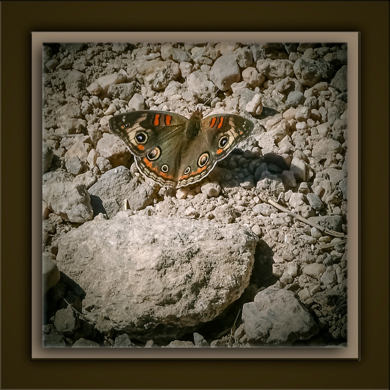 Common Buckeye-72