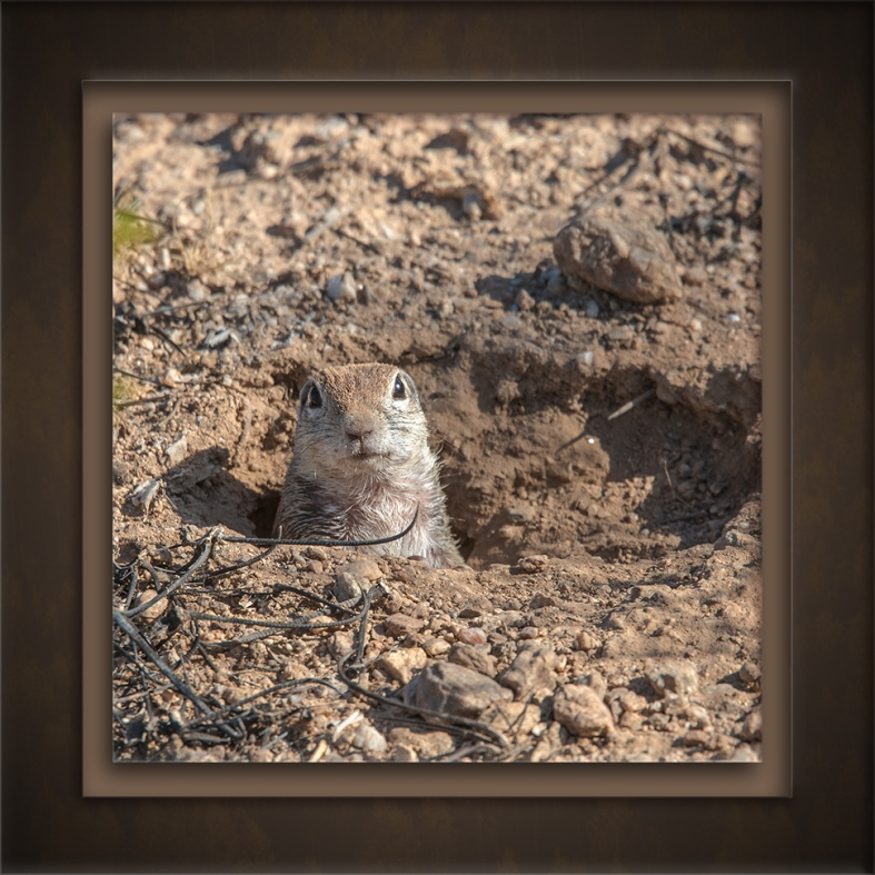Desert Squirrel-72