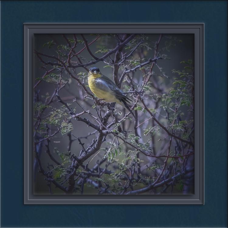 Lesser Goldfinch-72