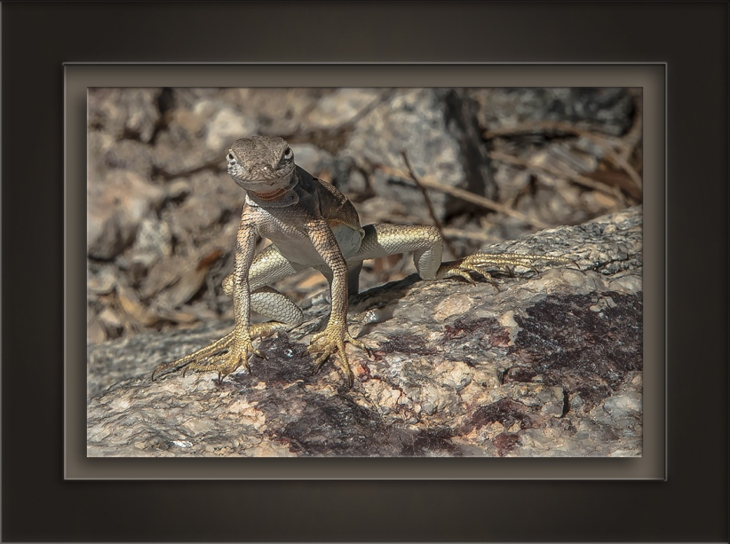 Lizard-72