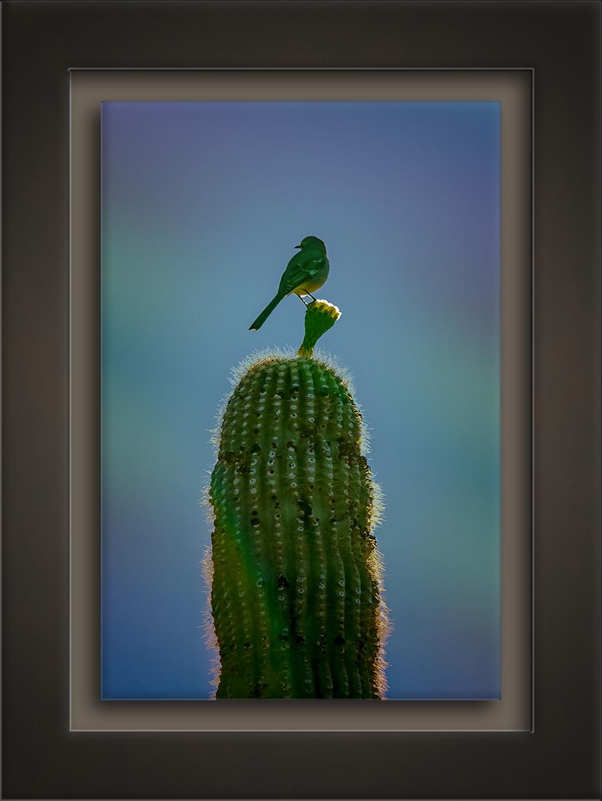 Mockingbird On Saguaro Blossom-72