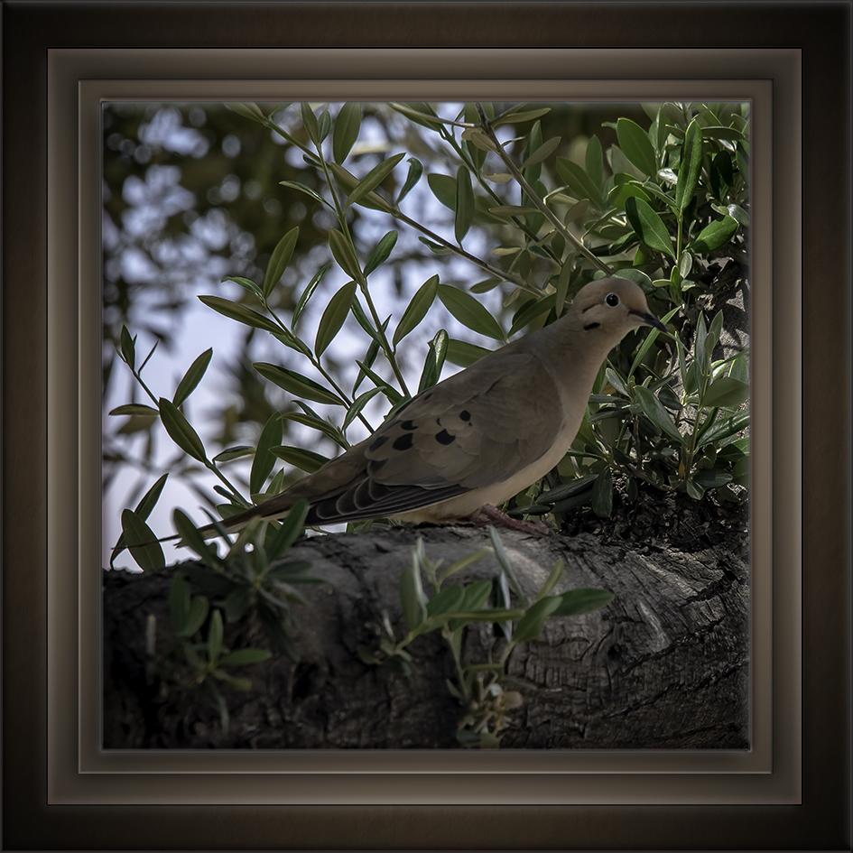 Mourning Dove-72