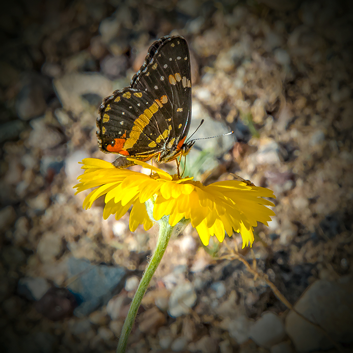 Sagebrush Checkerspot.72