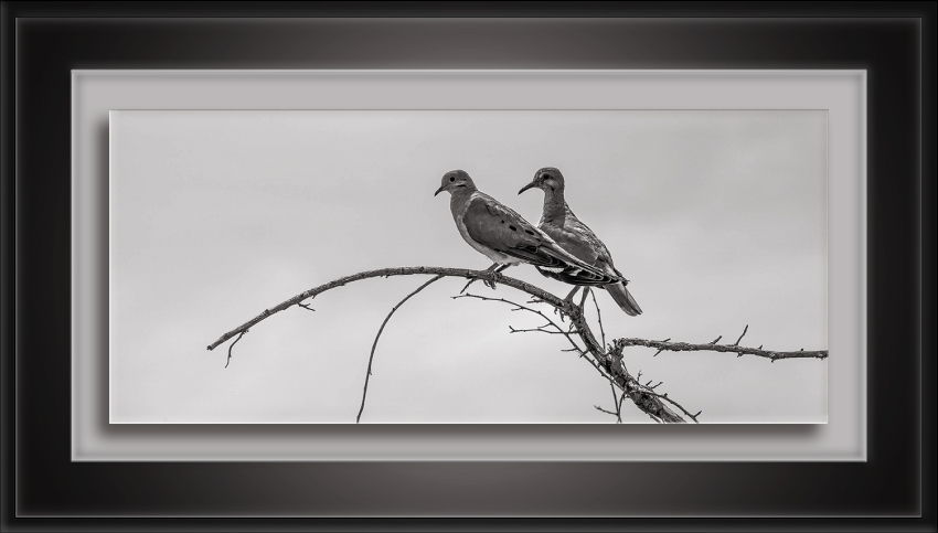 Two Doves On A Limb-72-2