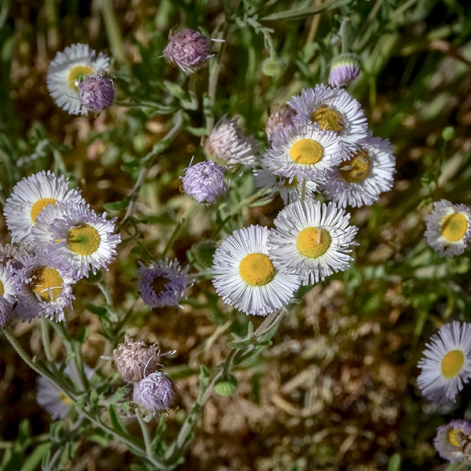 Arizona Fleabane