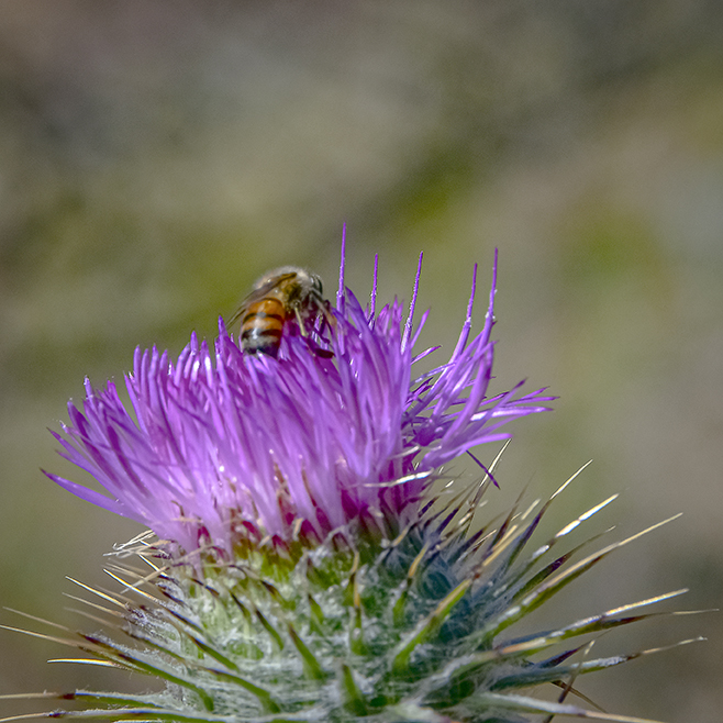 Bee On Thistle-2-72