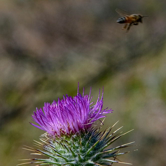 Bee On Thistle-3-72