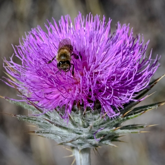 Bee On Thistle-4-72