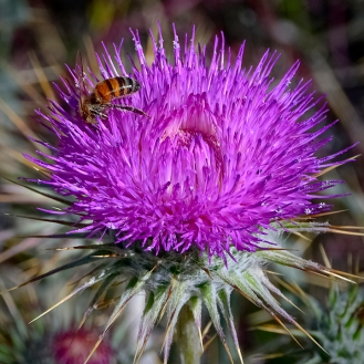 Bee on Thistle-5-72