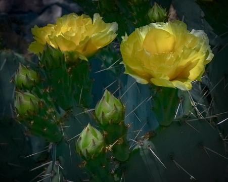 Cactus Blossoms-2-72