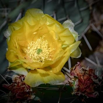 Cactus Blossoms-4-72