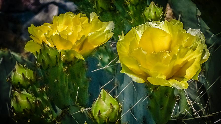 Cactus Blossoms-6-72