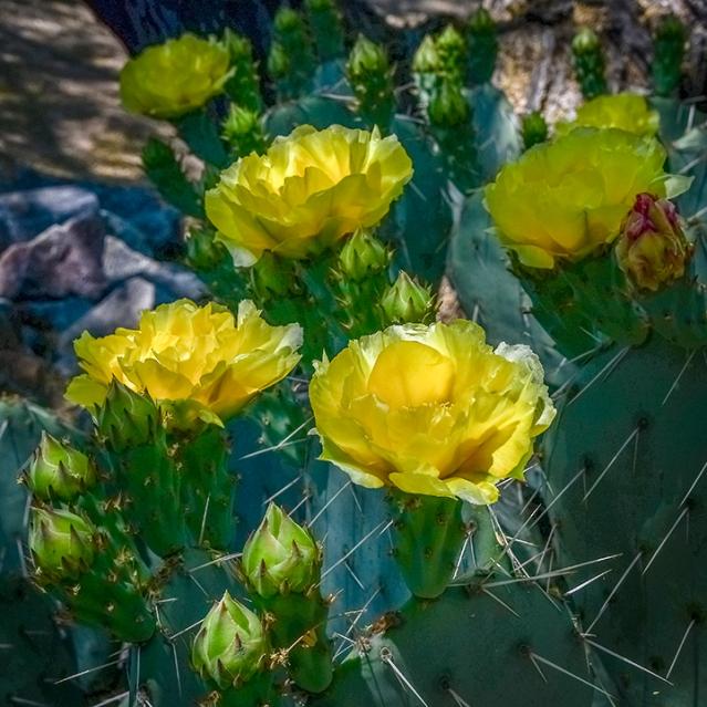 Cactus Blossoms-72