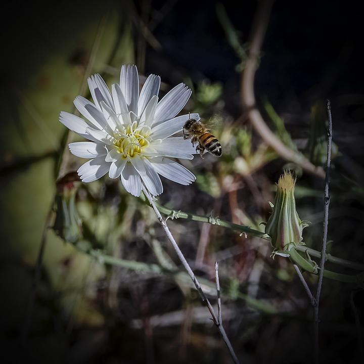 Desert Chicory-72-2