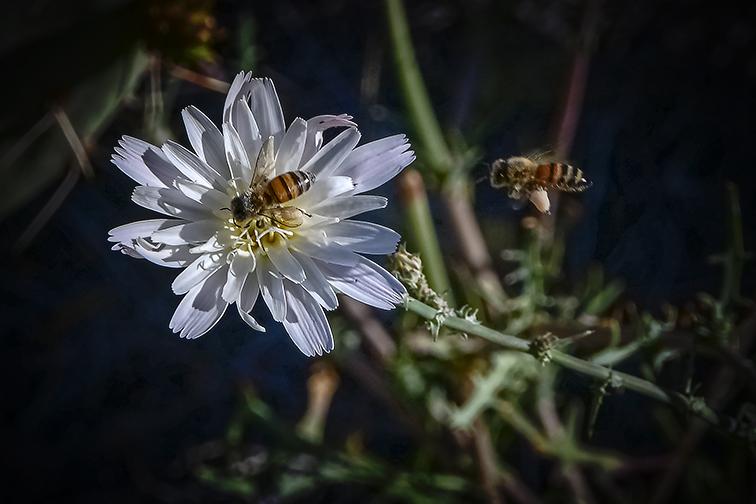 Desert Chicory & Bees-72