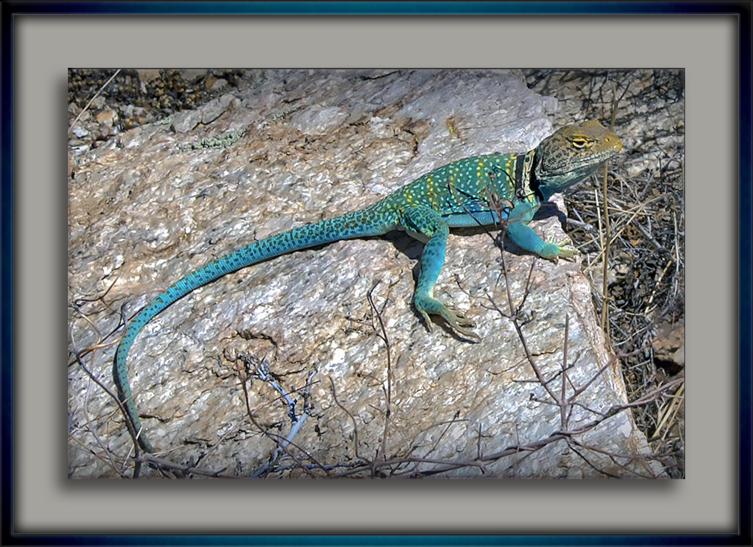 Eastern Collared Lizard-72