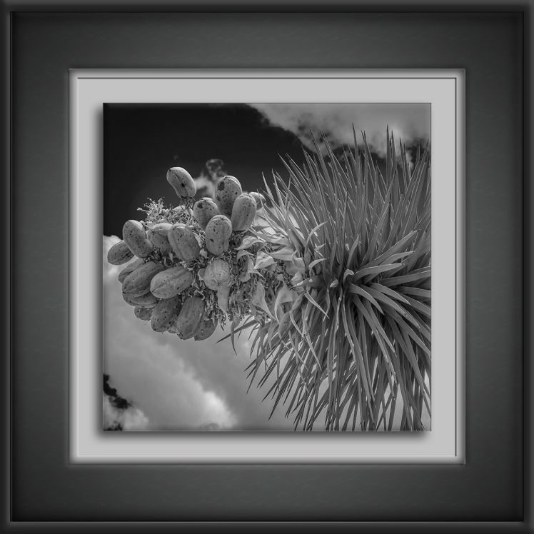 joshua tree (1 of 1)-4-1-B&W-72