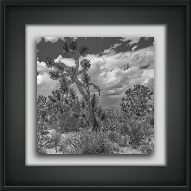 joshua tree (1 of 1)-6-sq-B&W-72