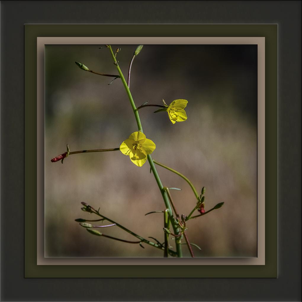 Mustard Evening Primrose-72