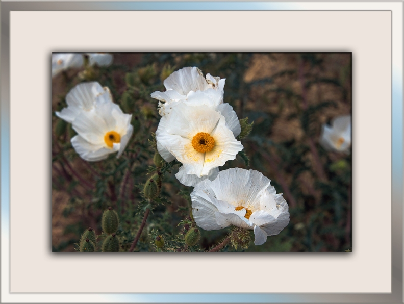 Southwestern Prictly Poppy blog