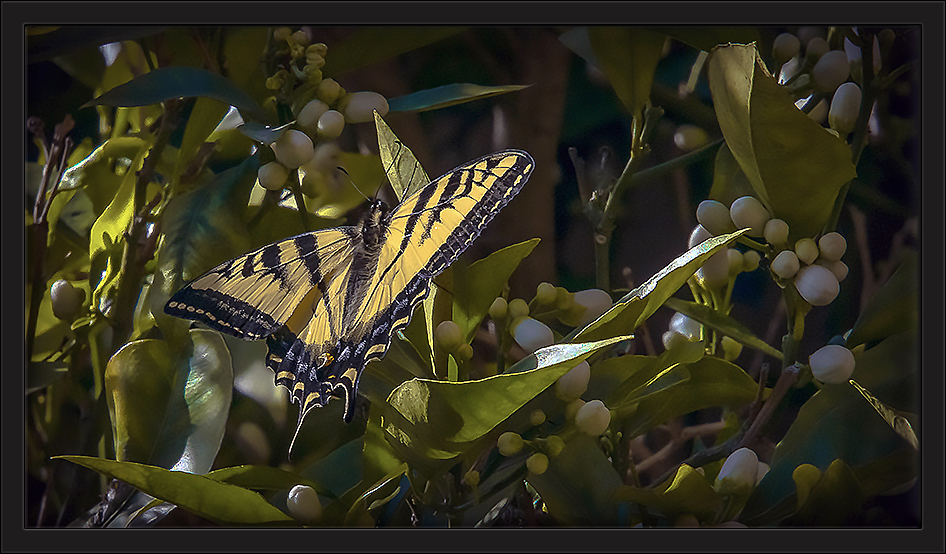 Two-tailed Swallowtail-72