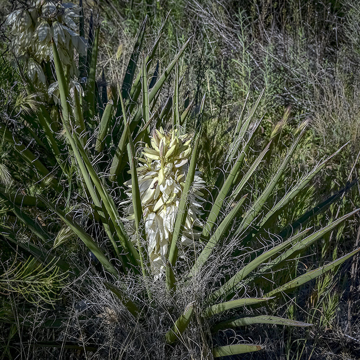 Yucca Blossom-72