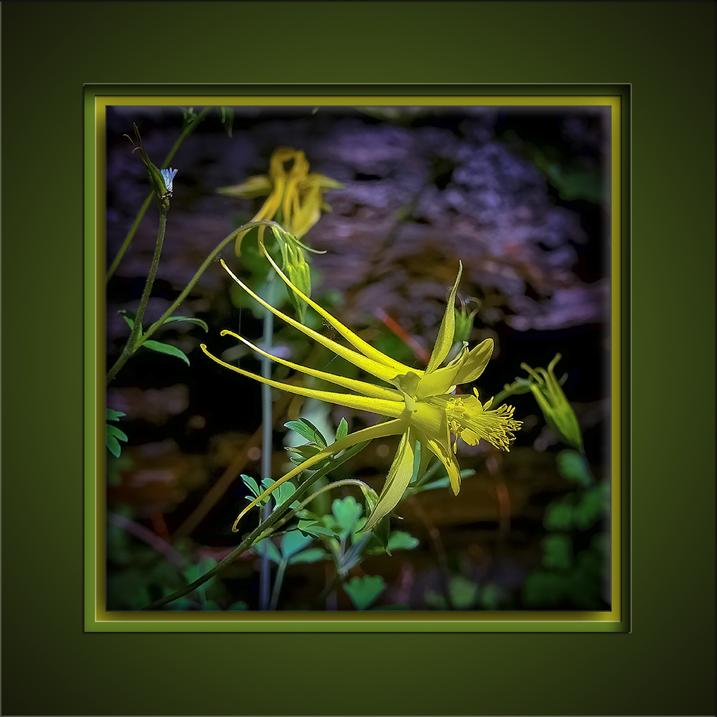Golden Columbine Wildflower