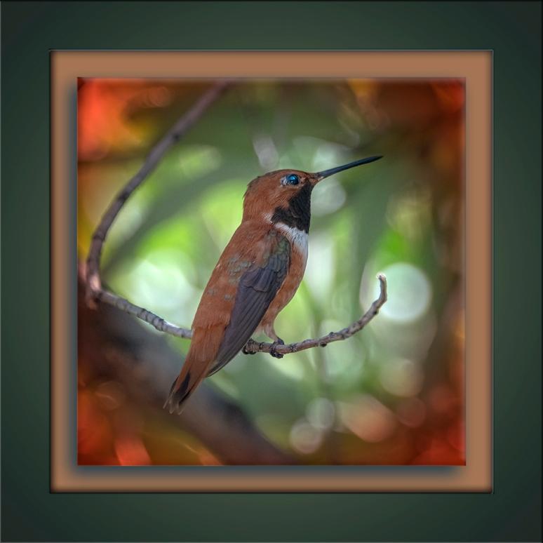 Rufous Hummingbird-72