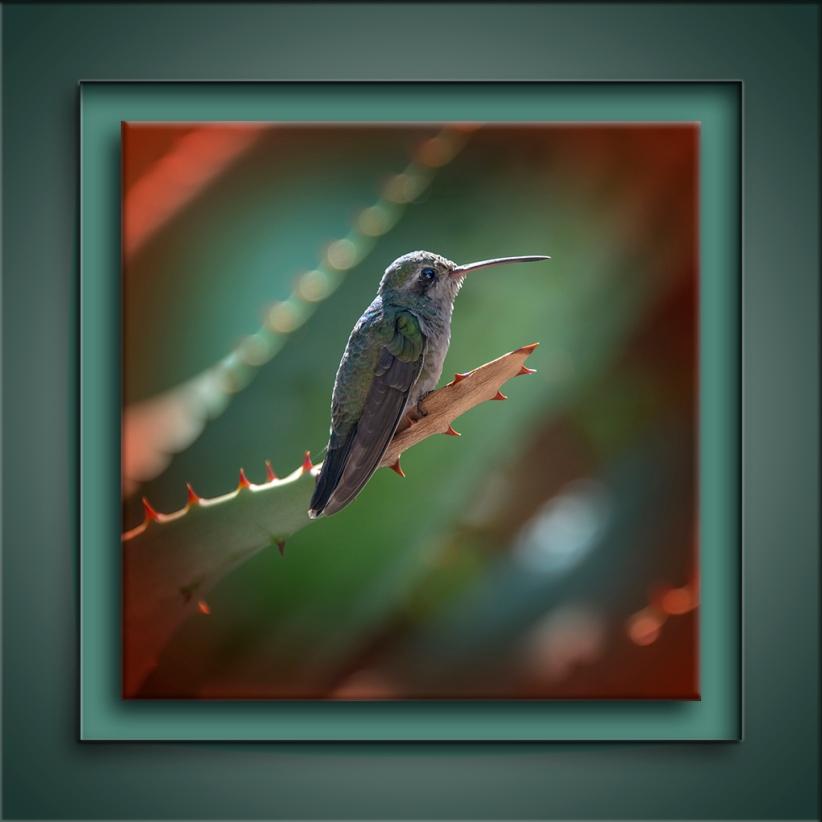Anna's Hummingbird-72