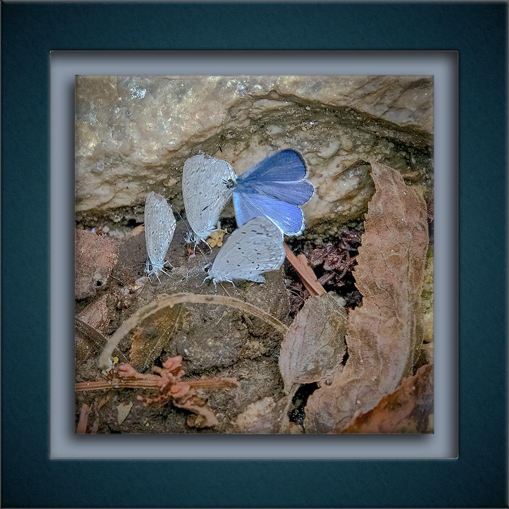 Echo Azure Butterflies