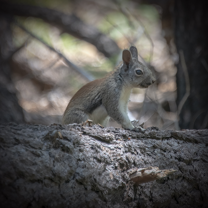 Wilderness Rock Trail 09-01-14-3697-Arizona Gray Squirrel-72